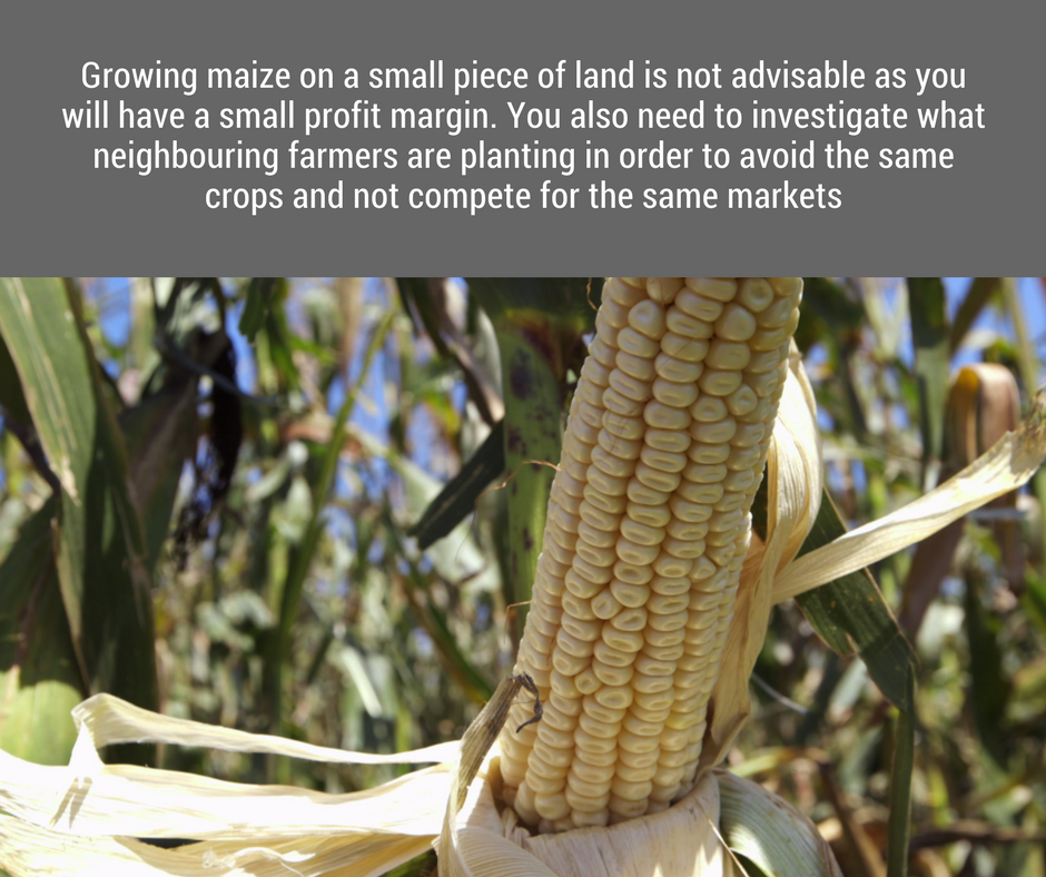 Initially, he wanted to grow maize on his once acre, but there are several reasons why this is not a good idea.