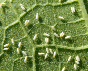 Potato Pests And Diseases Don T Lose The Plot