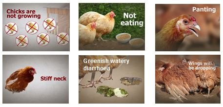 Chicken diseases | Don't Lose The Plot